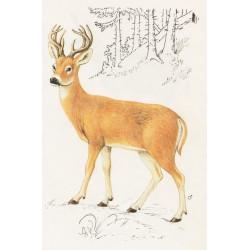 Carte postale Cerf de Virginie
